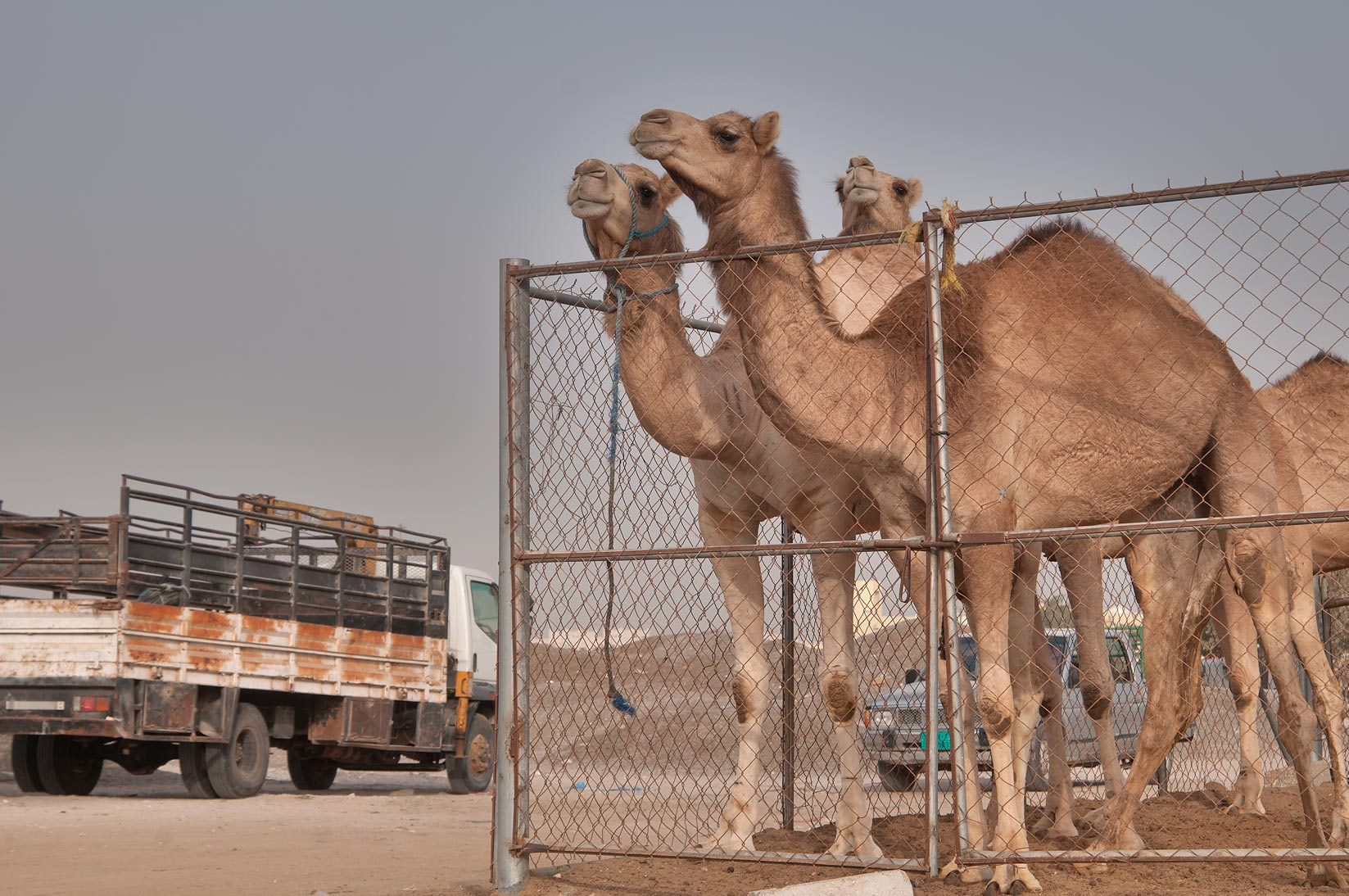 Camels in Wholesale Animal Market. Doha, Qatar