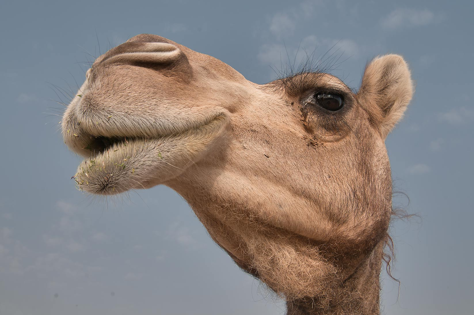 Close up of a head of a camel in Wholesale Animal Market. Doha, Qatar