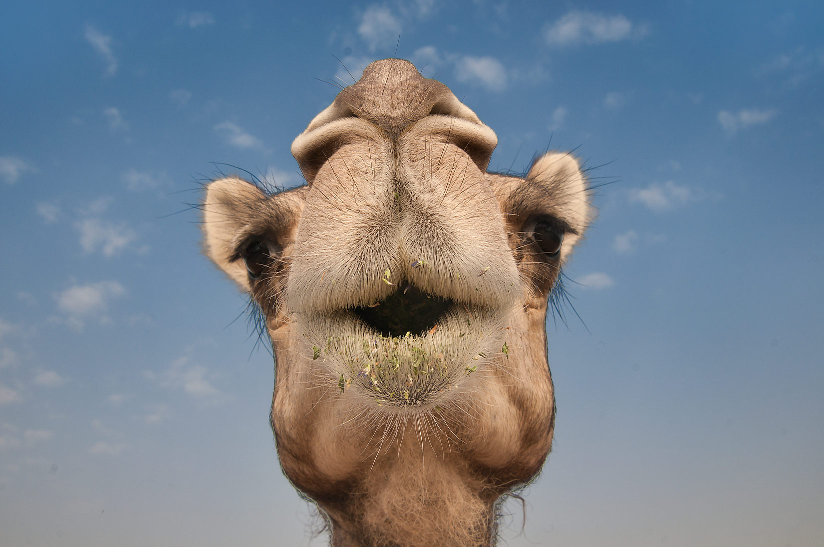 Camel's mouth and double rows of long eyelashes in Wholesale Animal Market. Doha, Qatar