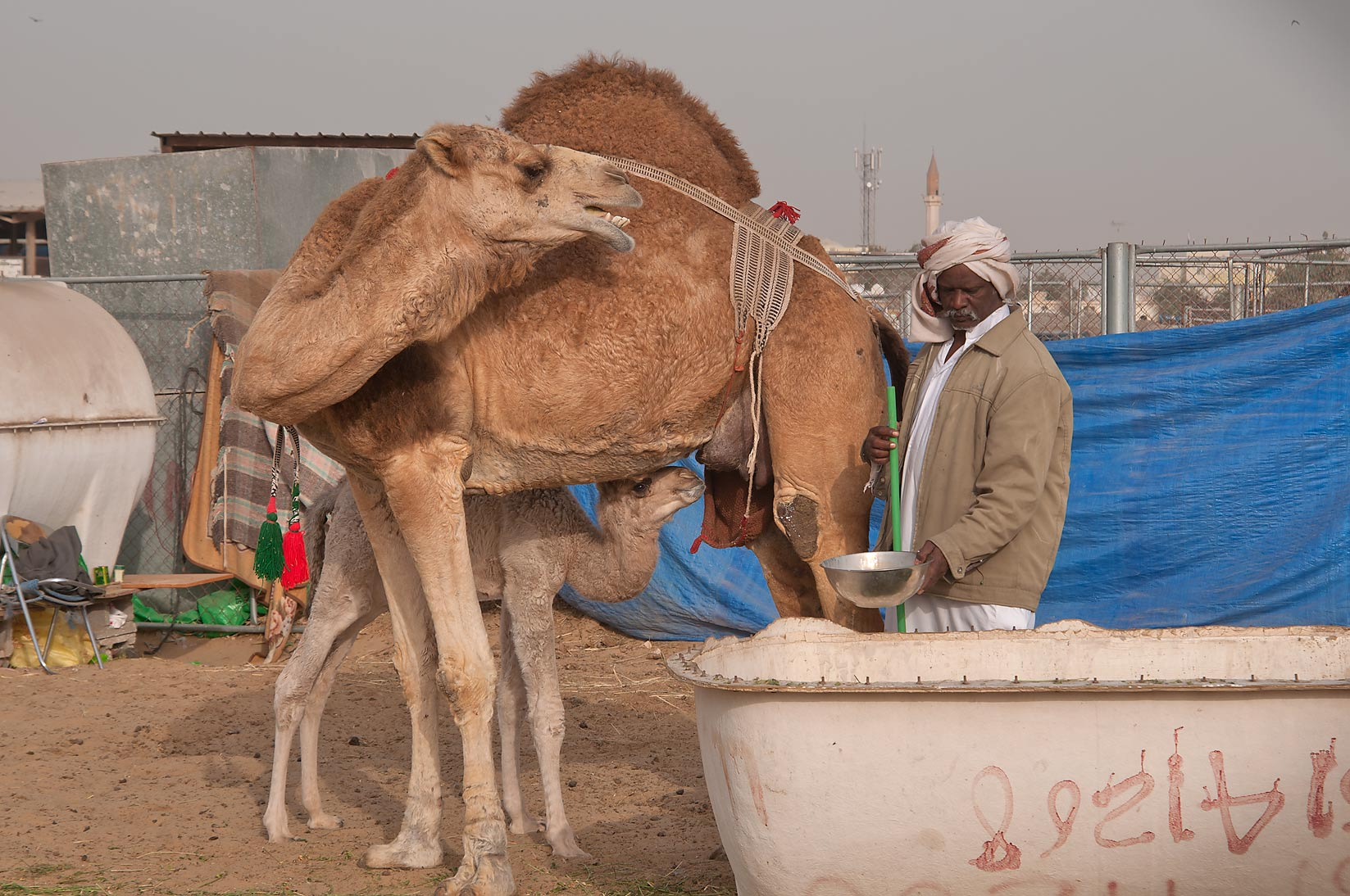Milking a camel in Wholesale Animal Market. Doha, Qatar