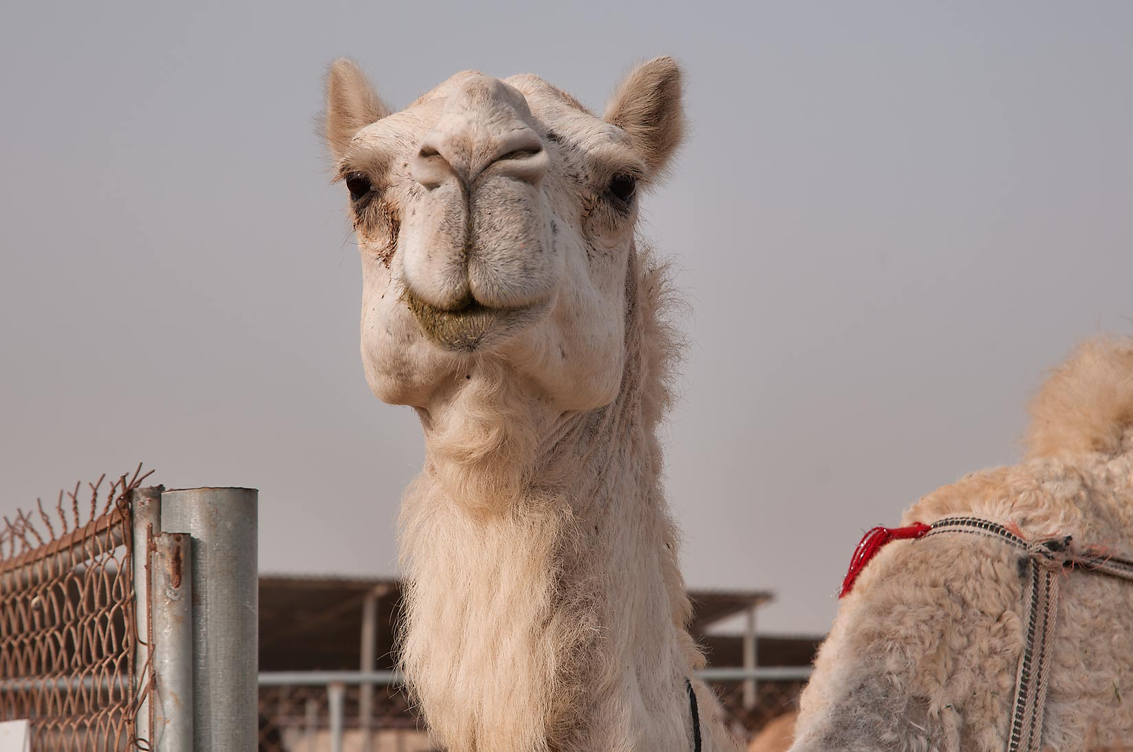 White camel in Wholesale Animal Market. Doha, Qatar