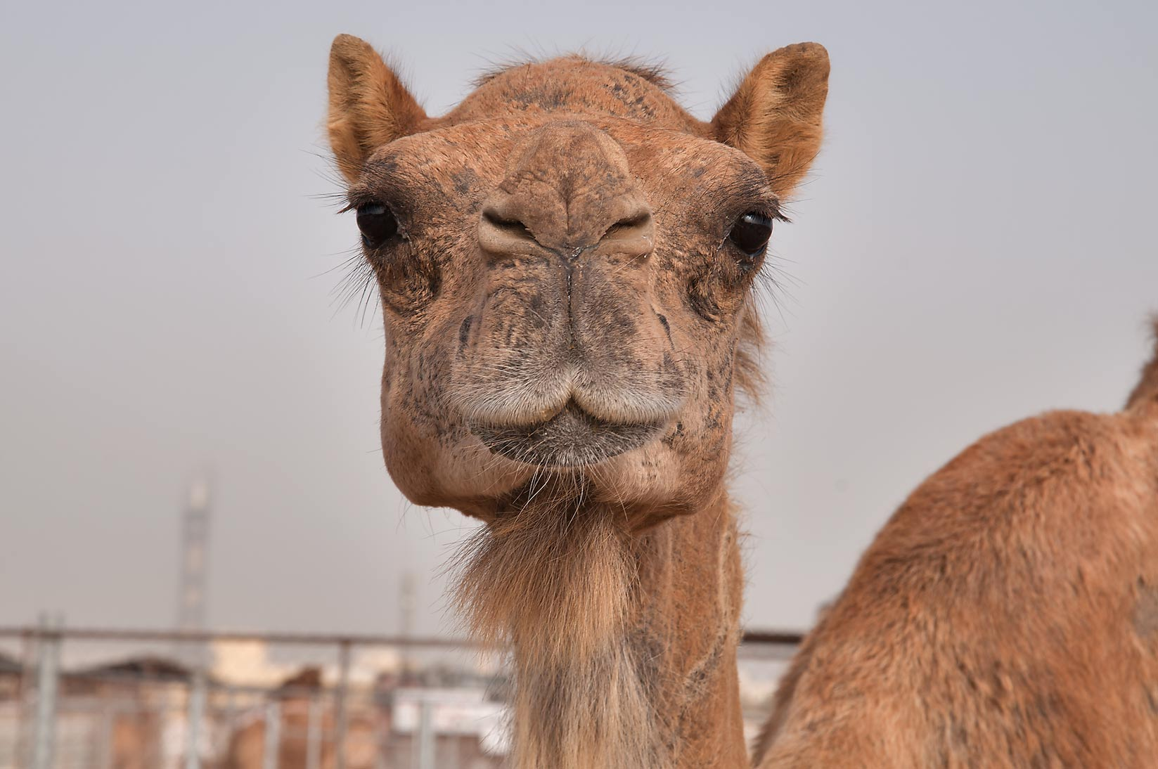 Brown camel in Wholesale Animal Market. Doha, Qatar