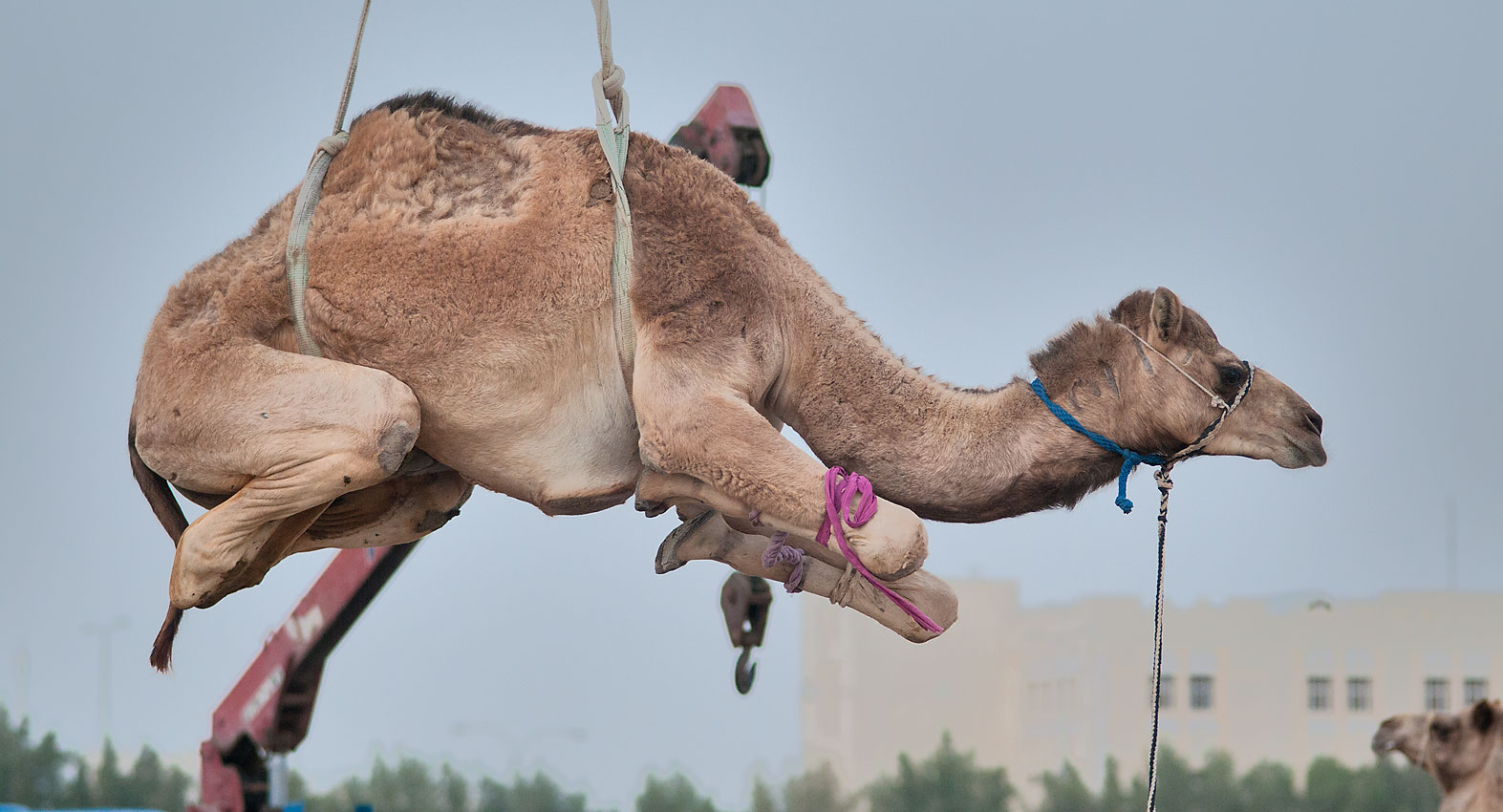 Camel lifted by a crane in Wholesale Animal Market. Doha, Qatar