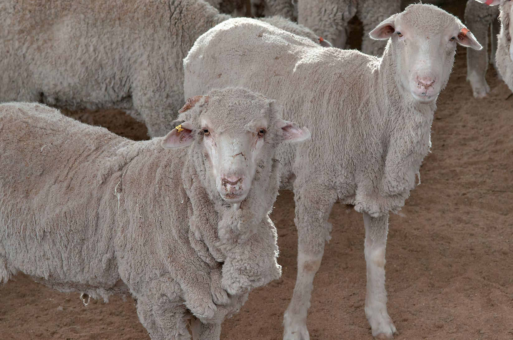 Lumpy wool of Australian sheep in a feedlot of...Mawashi Slaughterhouse. Doha, Qatar
