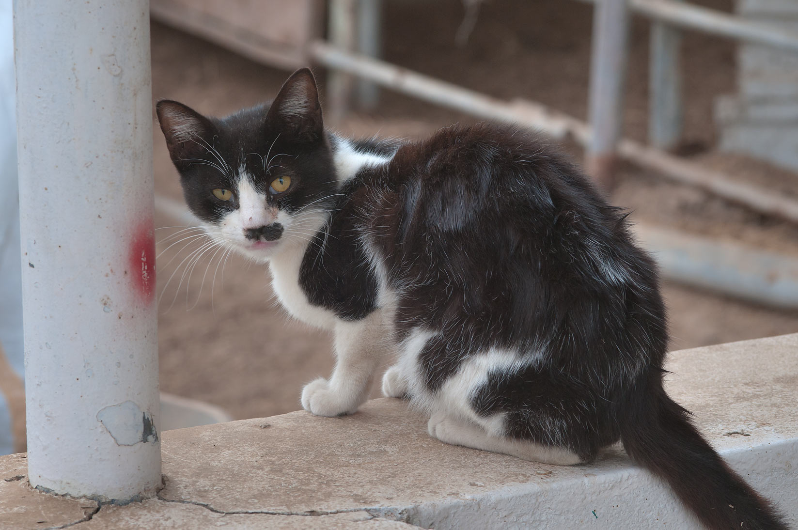 Stray cat in Sheep Market, Wholesale Markets area. Doha, Qatar