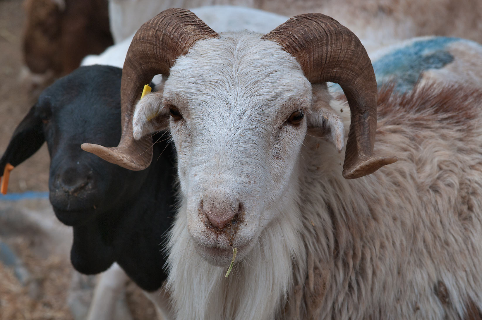 Ram with a runny nose in Sheep Market, Wholesale Markets area. Doha, Qatar