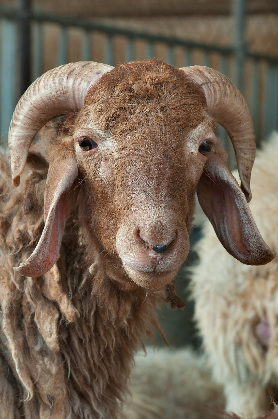 Brown ram in Sheep Market, Wholesale Markets area. Doha, Qatar