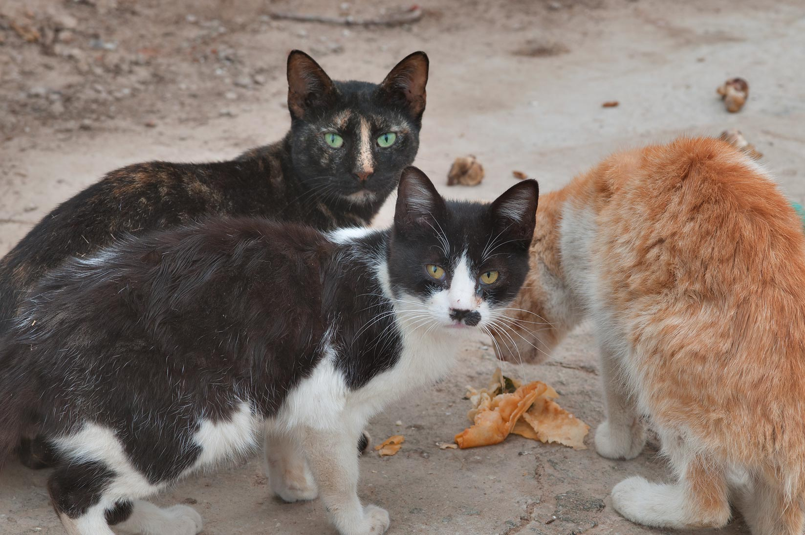 Street cats feeding in Sheep Market, Wholesale Markets area. Doha, Qatar