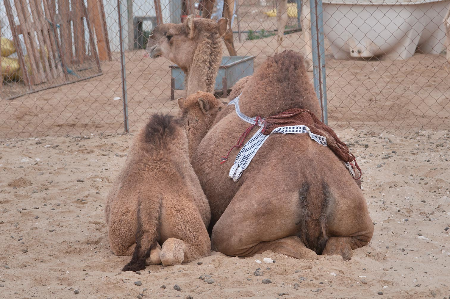 Family of camels in Animal Market (Camel Souq), Wholesale Markets area. Doha, Qatar