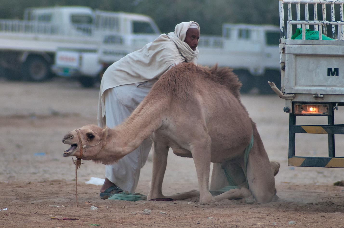 Forcing a camel to kneel in Camel Market (Souq), Wholesale Markets area. Doha, Qatar
