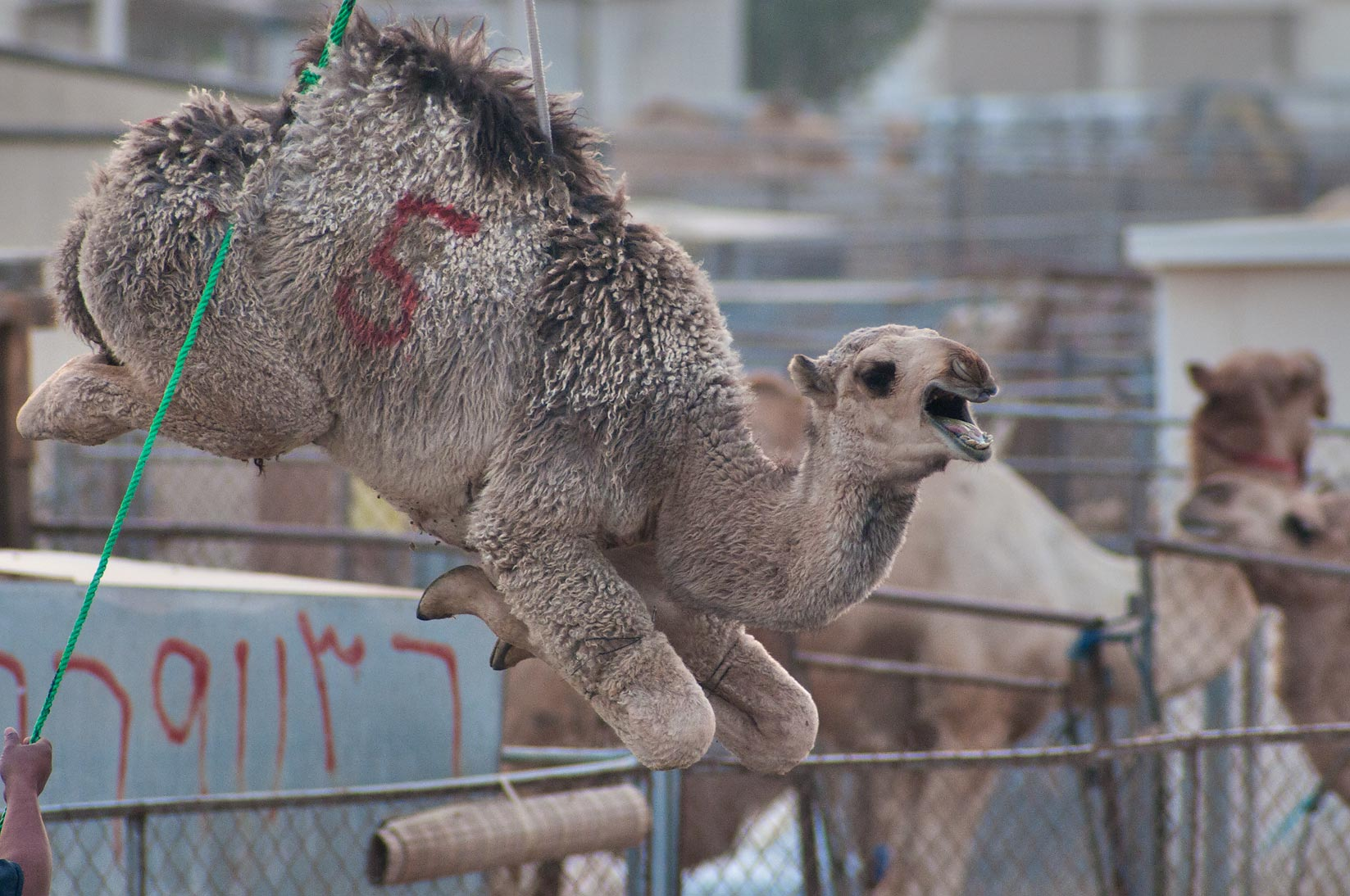Groaning camel suspended on a crane in Camel...Wholesale Markets area. Doha, Qatar
