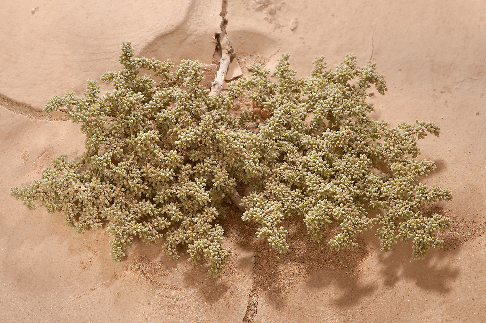 Herniaria hemistemon (local name Ghebayra) with...40 miles south-west from Doha. Qatar