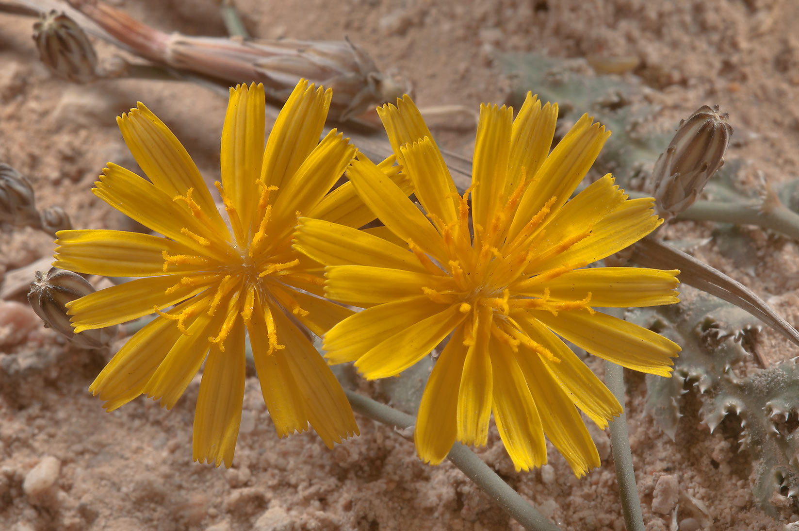Flower of Launaea mucronata (local name Huwa ghazal) near Al Ruwais (Shamal Rd.). Qatar