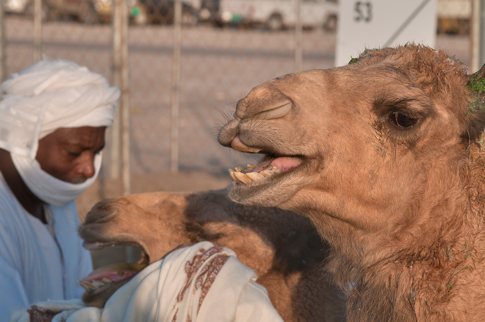 Crying camels in a truck in Camel Market (Souq), Wholesale Markets area. Doha, Qatar