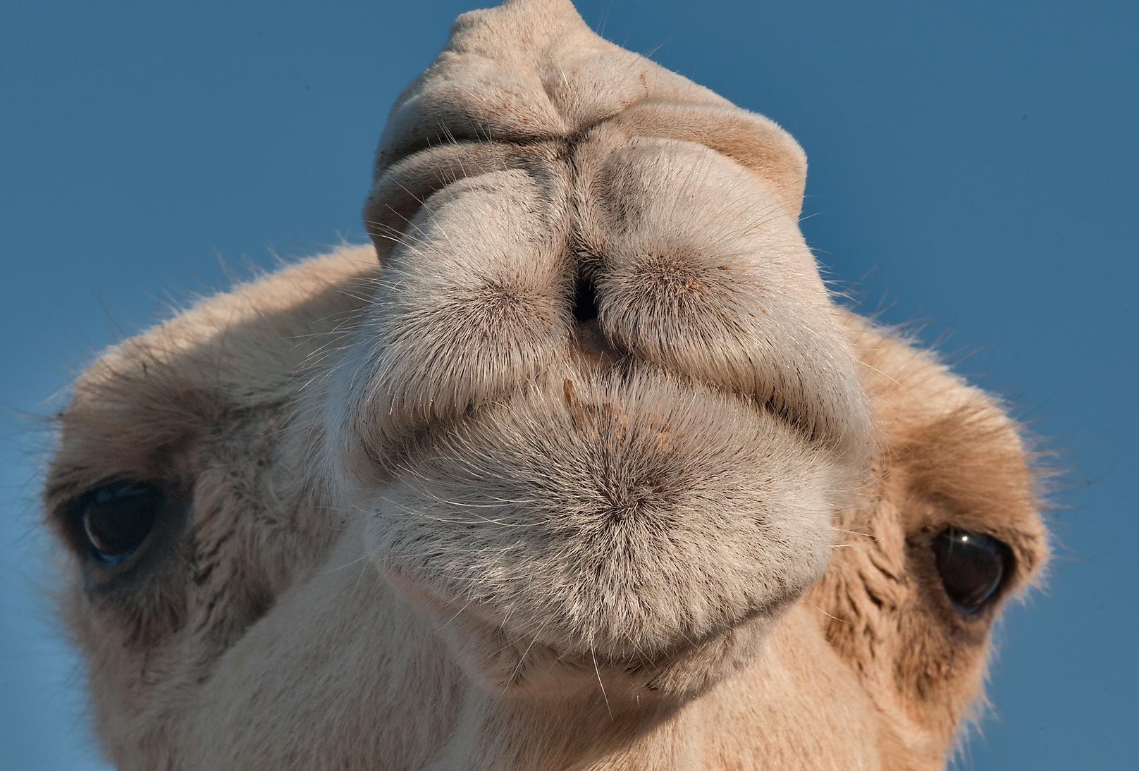 Snout of a white camel in Camel Market (Souq), Wholesale Markets area. Doha, Qatar