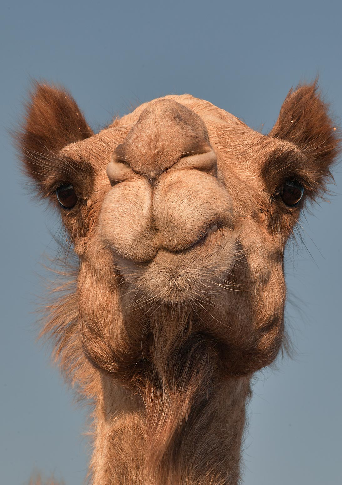Head of a brown camel in Camel Market (Souq), Wholesale Markets area. Doha, Qatar