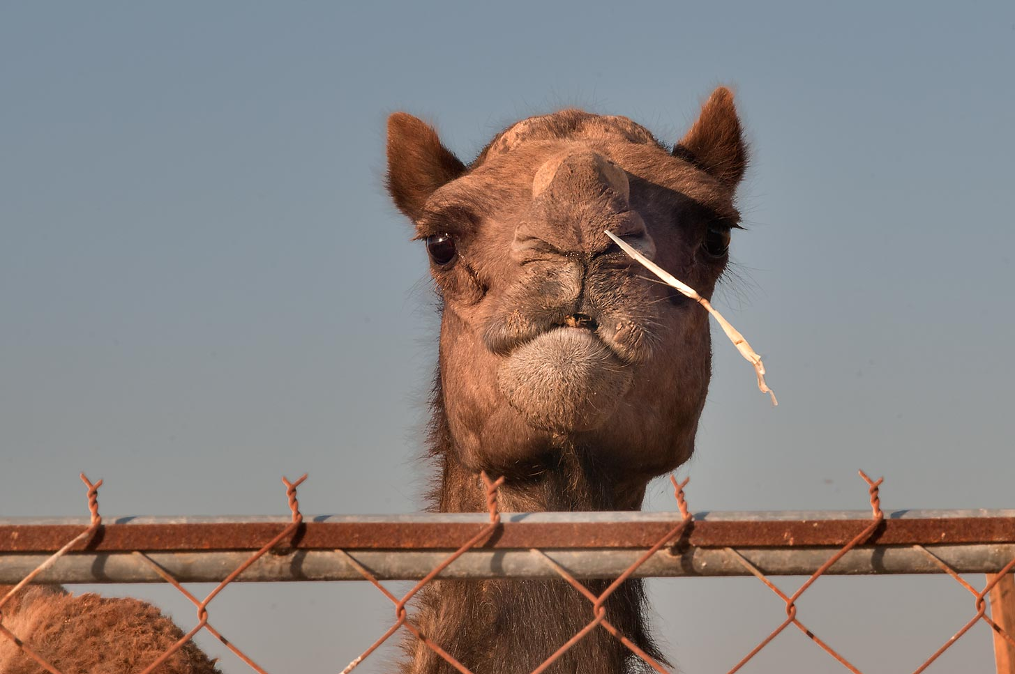 Camel with a grass stalk in Camel Market (Souq), Wholesale Markets area. Doha, Qatar
