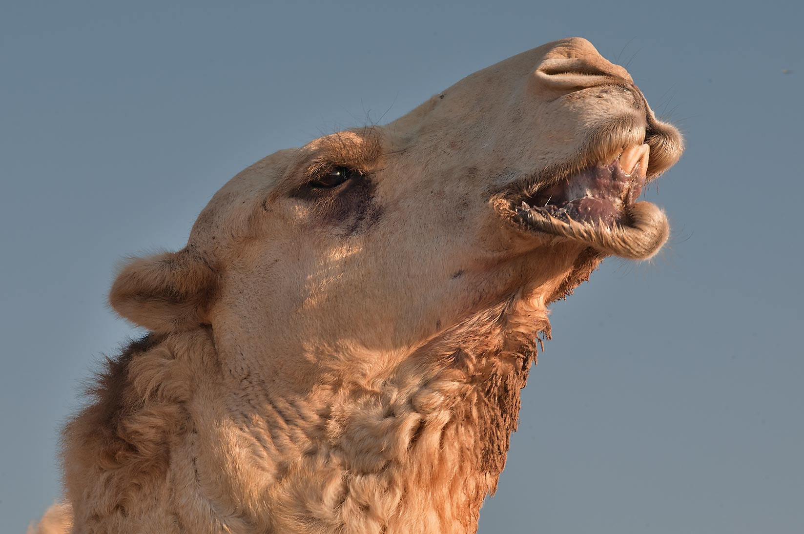 Camel with visible teeth because of drooping of...Wholesale Markets area. Doha, Qatar