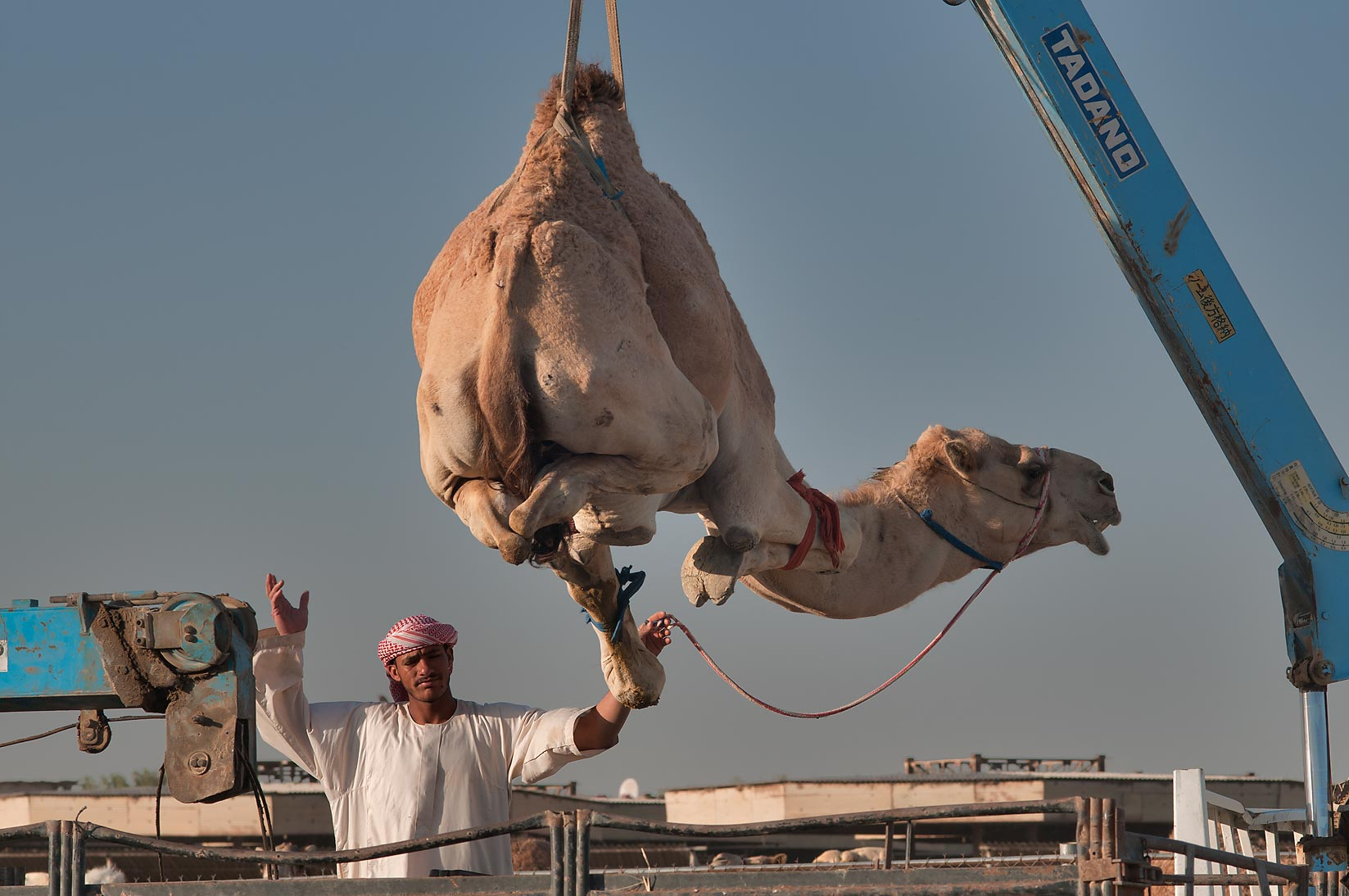 Camel suspended by crane over a truck in Camel...Wholesale Markets area. Doha, Qatar