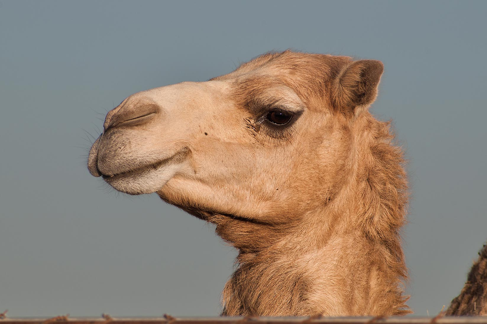 Camel's head in Animal Market, Wholesale Markets area. Doha, Qatar