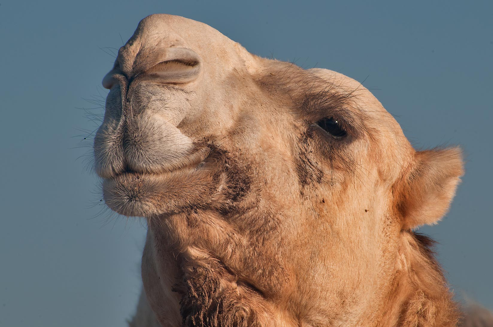 Bossy camel in Animal Market, Wholesale Markets area. Doha, Qatar