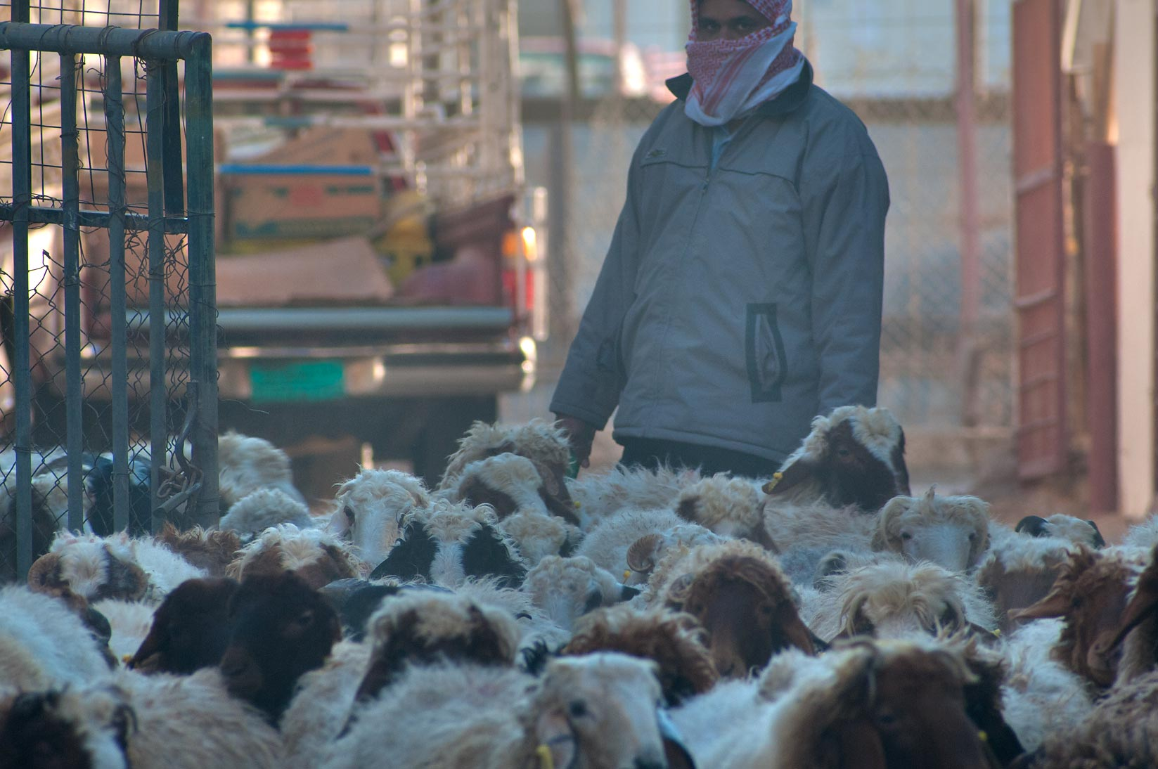 Herdsman with a flock of sheep in Animal Market, Wholesale Market area. Doha, Qatar