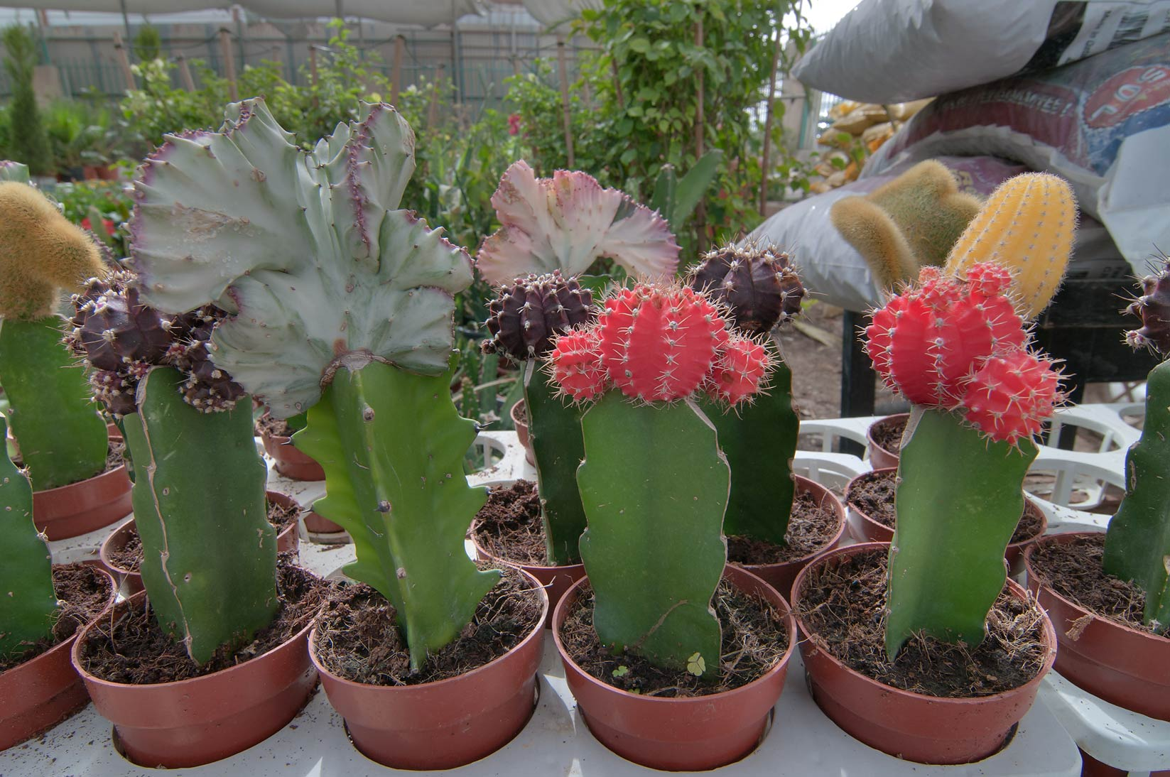 Cacti grafted on cereus in a flower shop in Wholesale Markets area. Doha, Qatar
