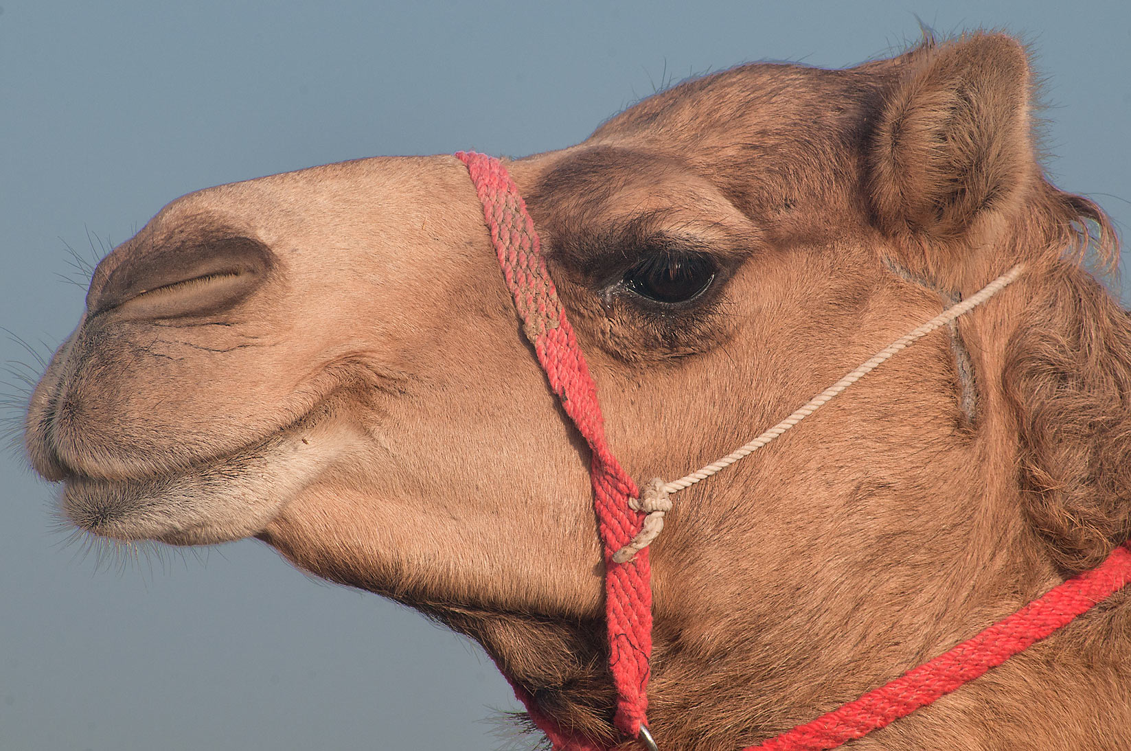 Head of a camel at Camel Market (Souq) in Wholesale Markets area. Doha, Qatar
