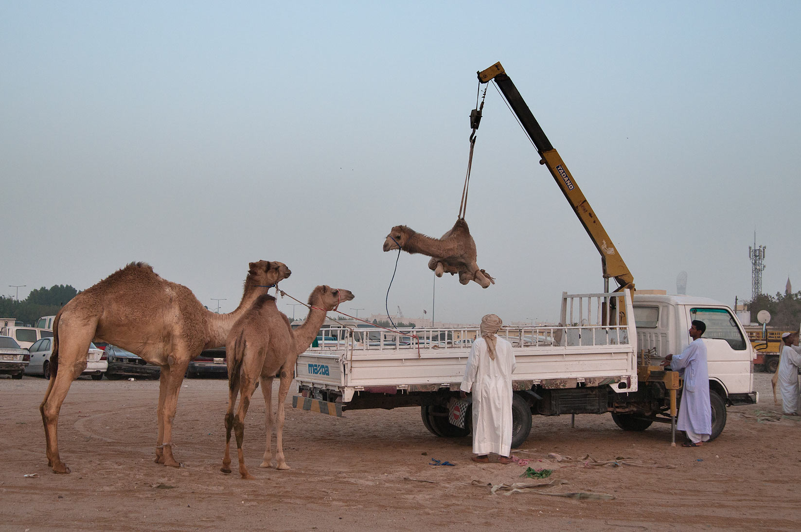 Unloading camels from a truck by a crane in Camel...in Wholesale Markets area. Doha, Qatar