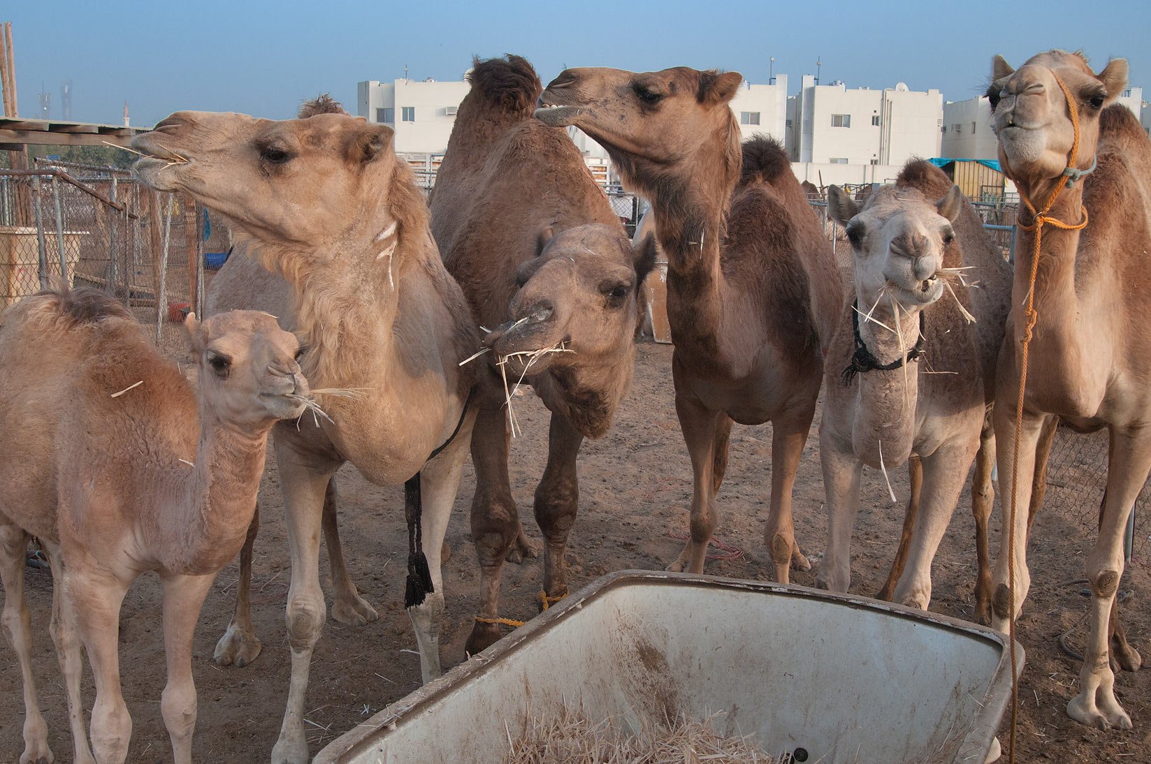 Group of feeding camels in Animal Market, Wholesale Markets area. Doha, Qatar