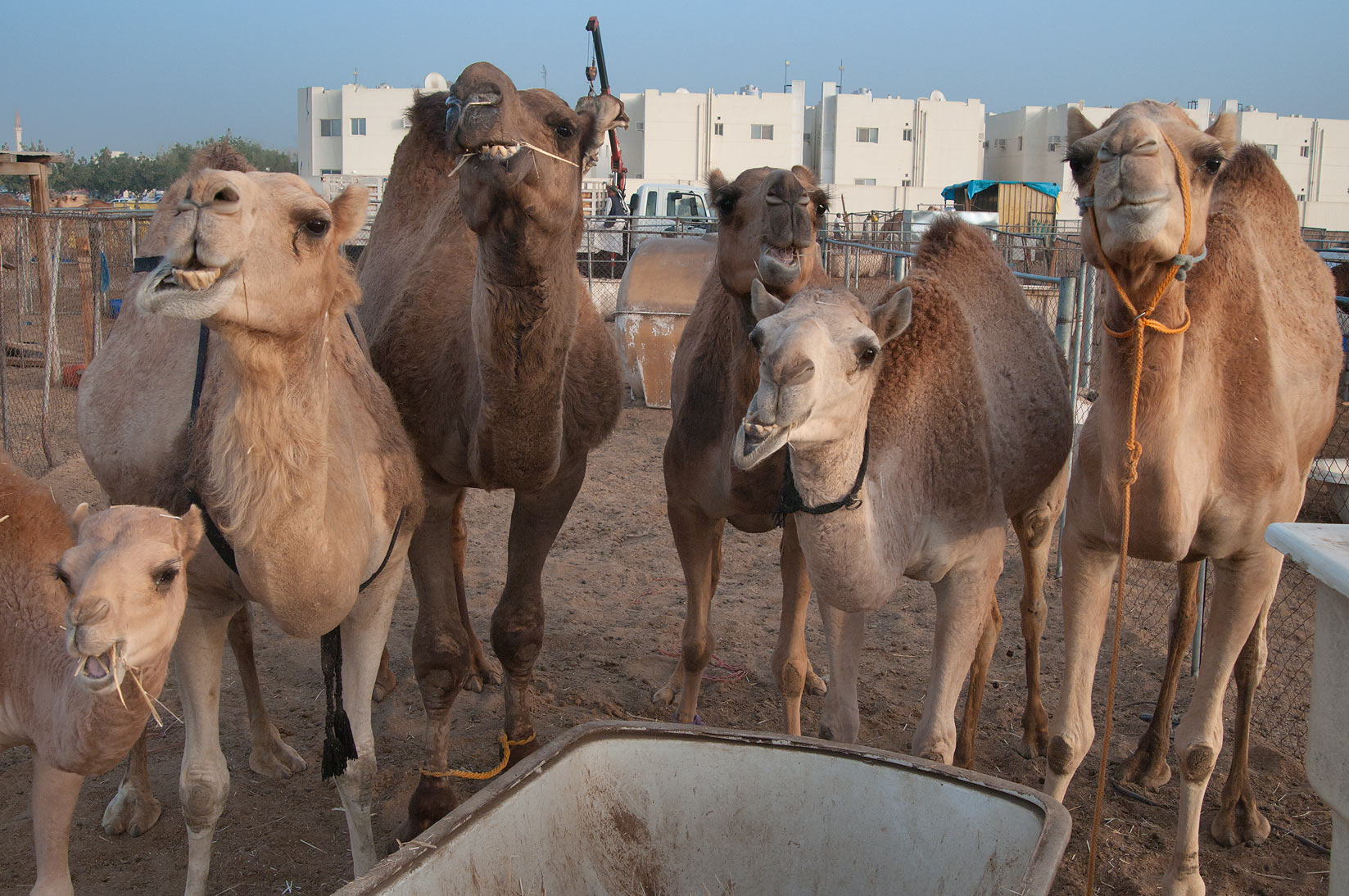 Feeding camels in Animal Market, Wholesale Markets area. Doha, Qatar