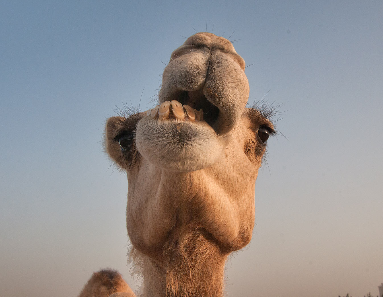 Chewing camel in Animal Market, Wholesale Markets area. Doha, Qatar