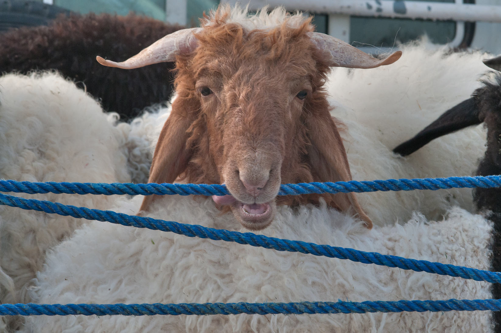 Ram gnawing a rope in Sheep Market, Wholesale Market area. Doha, Qatar