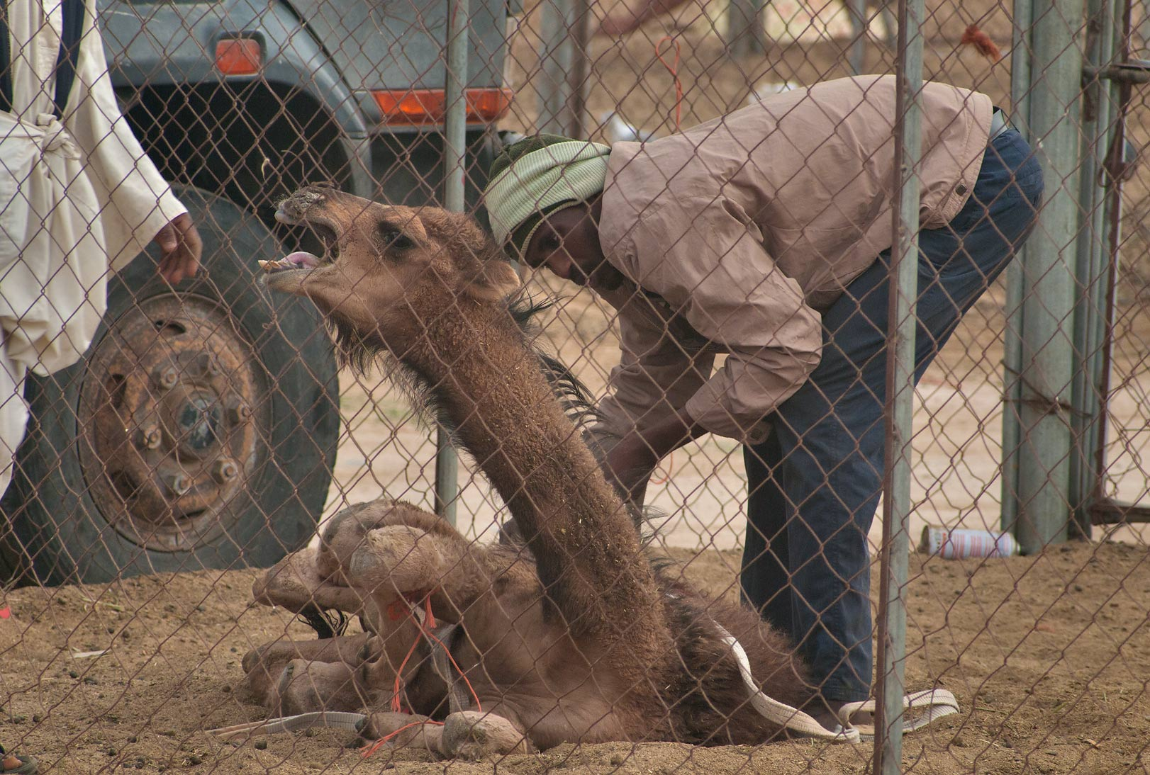 Groaning and protesting camel in Camel Market, wholesale markets area. Doha, Qatar