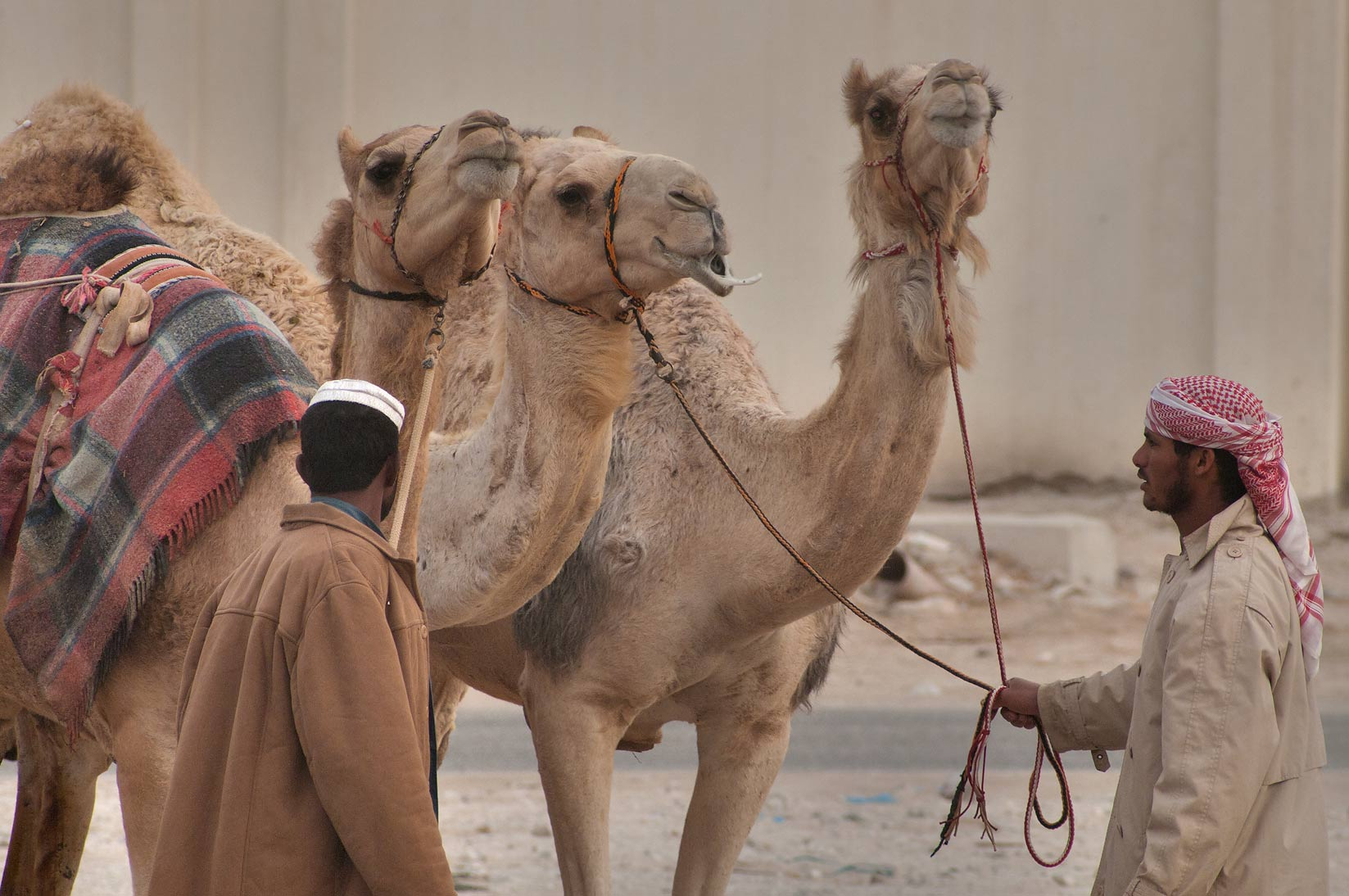 A person with camels in Camel Market, wholesale markets area. Doha, Qatar