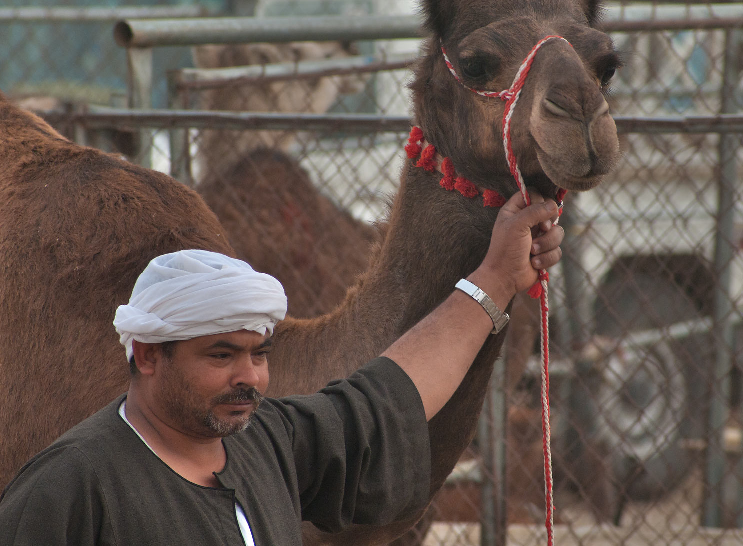 A person with a brown camel in Camel Market, wholesale markets area. Doha, Qatar