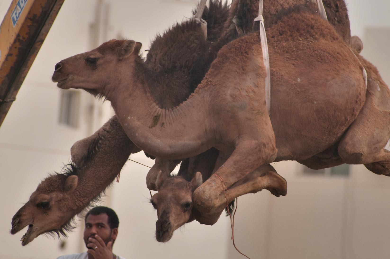 Bunch of camels suspended by crane in Camel Market, wholesale markets area. Doha, Qatar