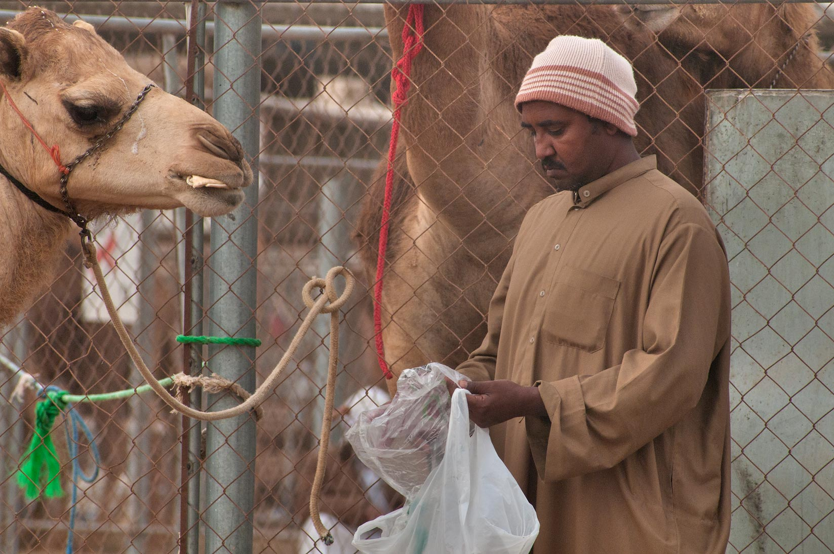 Giving bread to a camel in Camel Market, wholesale markets area. Doha, Qatar