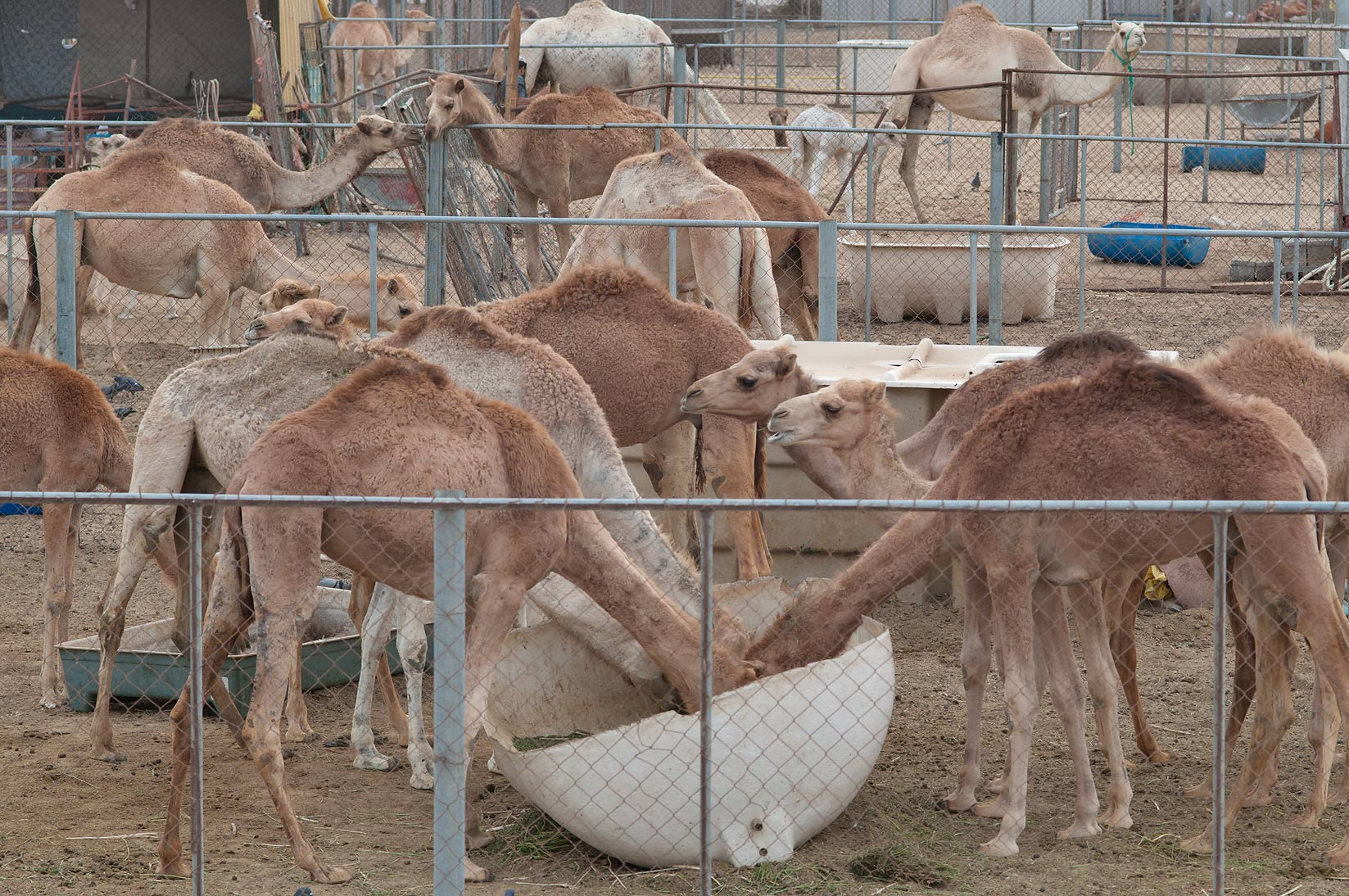 Animal pens of Camel Market, view from a gravel hill, wholesale markets area. Doha, Qatar
