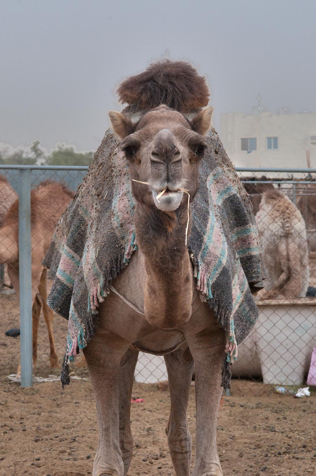 Camel with a cover standing in Camel Market, Wholesale Markets area. Doha, Qatar