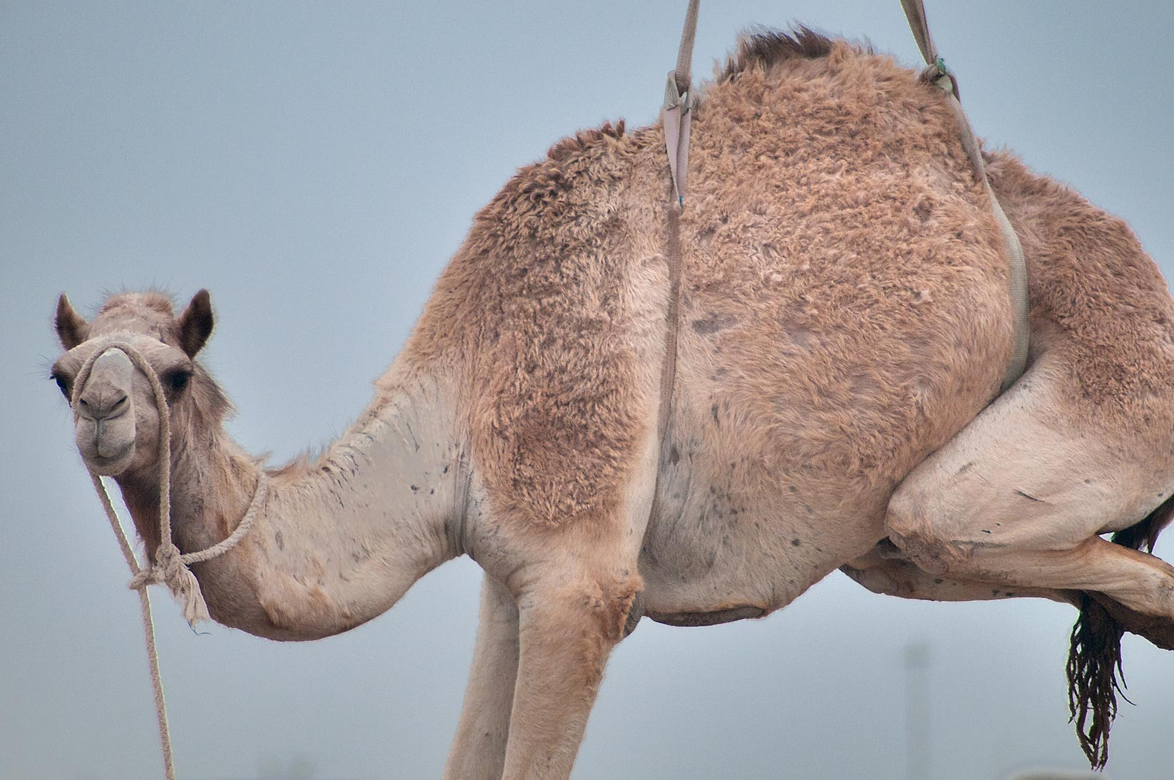 Docile camel suspended by crane in Camel Market, Wholesale Markets area. Doha, Qatar