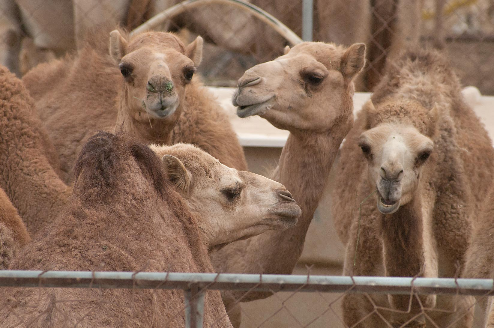 Gathering of camels in Camel Market, Wholesale Markets area. Doha, Qatar