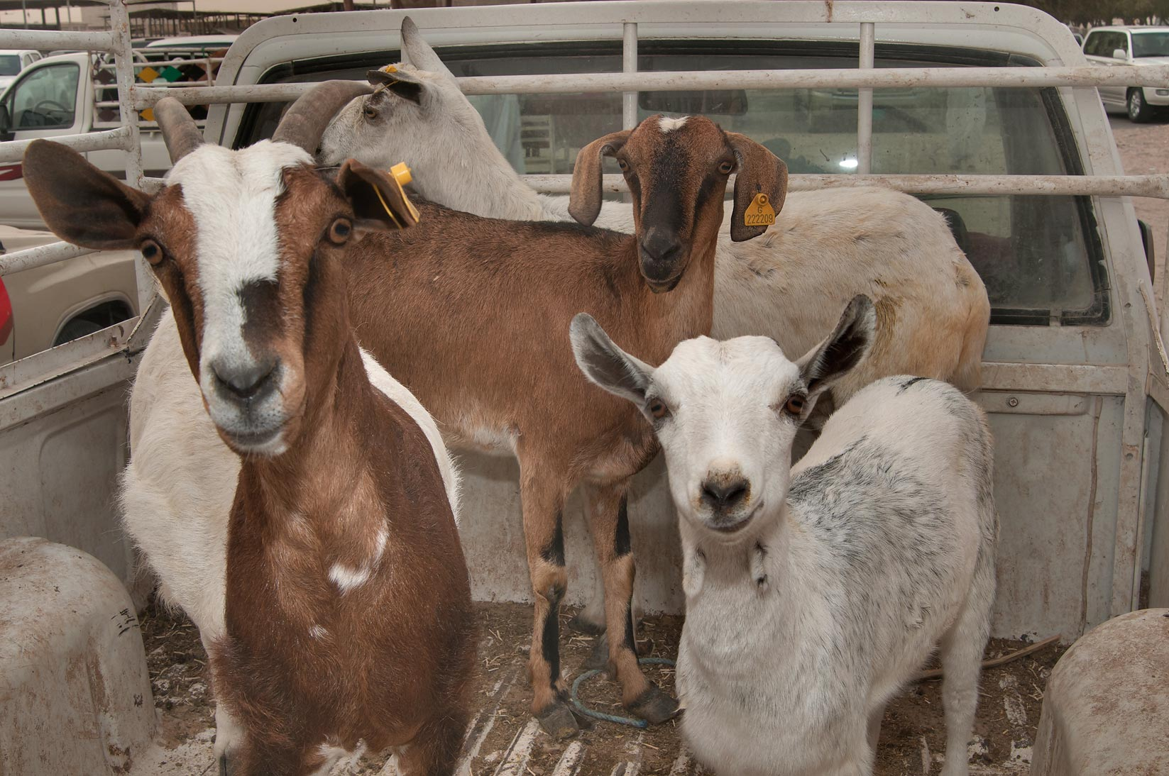 Several goats in a truck in Sheep Market, Wholesale Markets area. Doha, Qatar