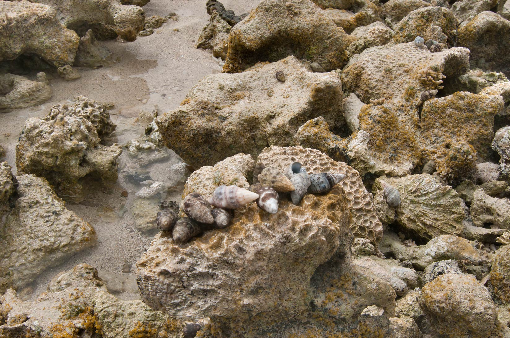 Corals and sea snails at low tide on a beach of...tip of Qatar, east from Ruwais