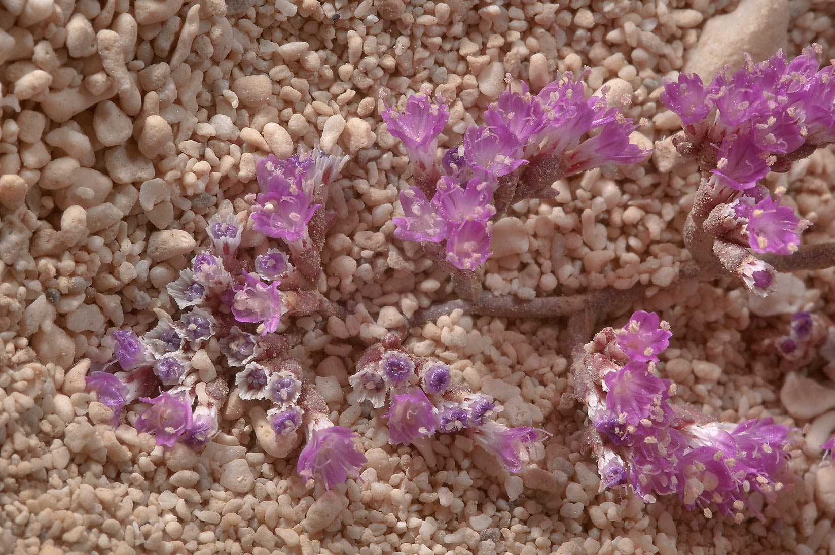 Blooming Sea Lavender (Limonium axillare, local...tip of Qatar, east from Ruwais