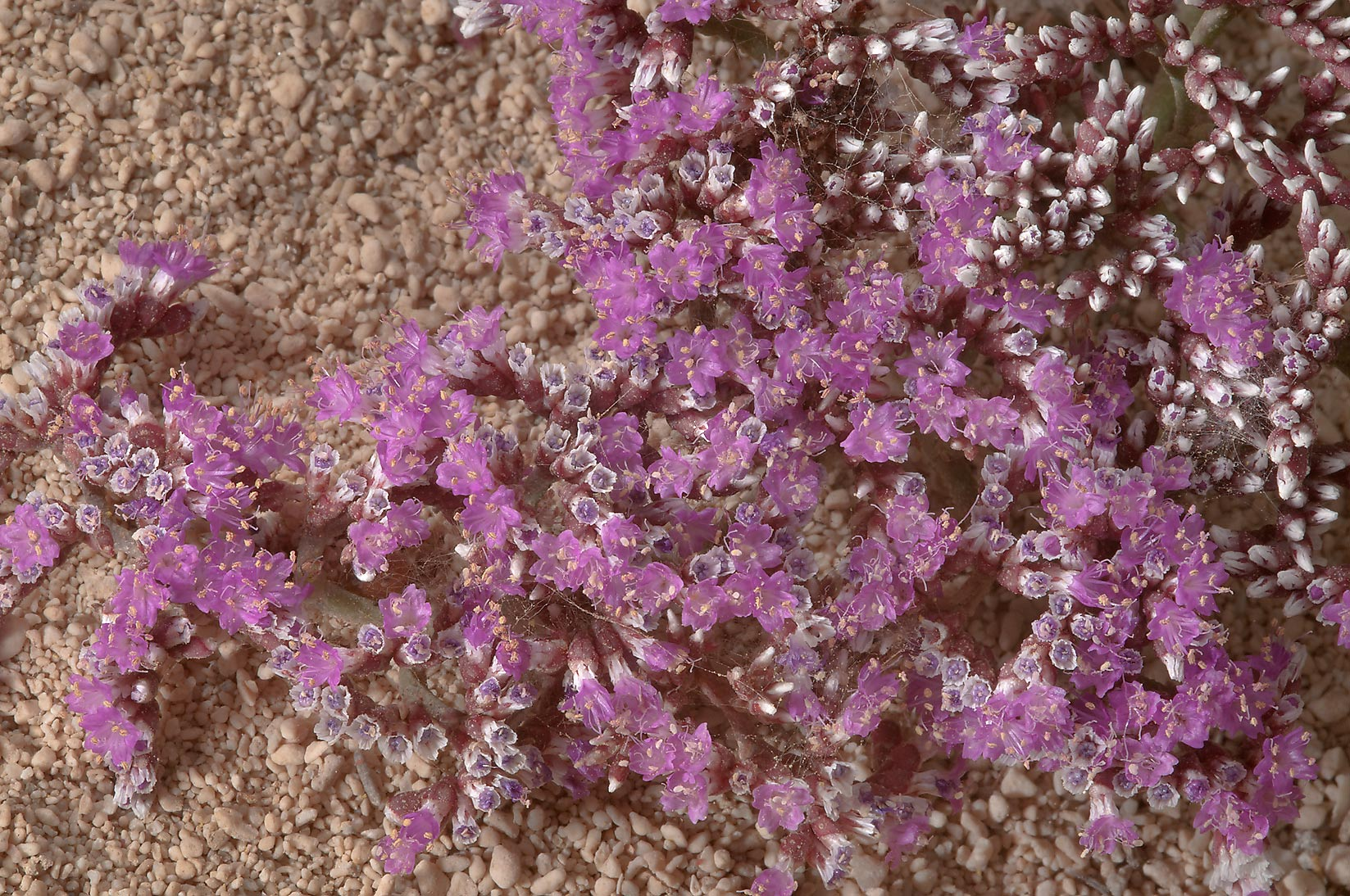 Flowers of Sea Lavender (Limonium axillare, local...tip of Qatar, east from Ruwais