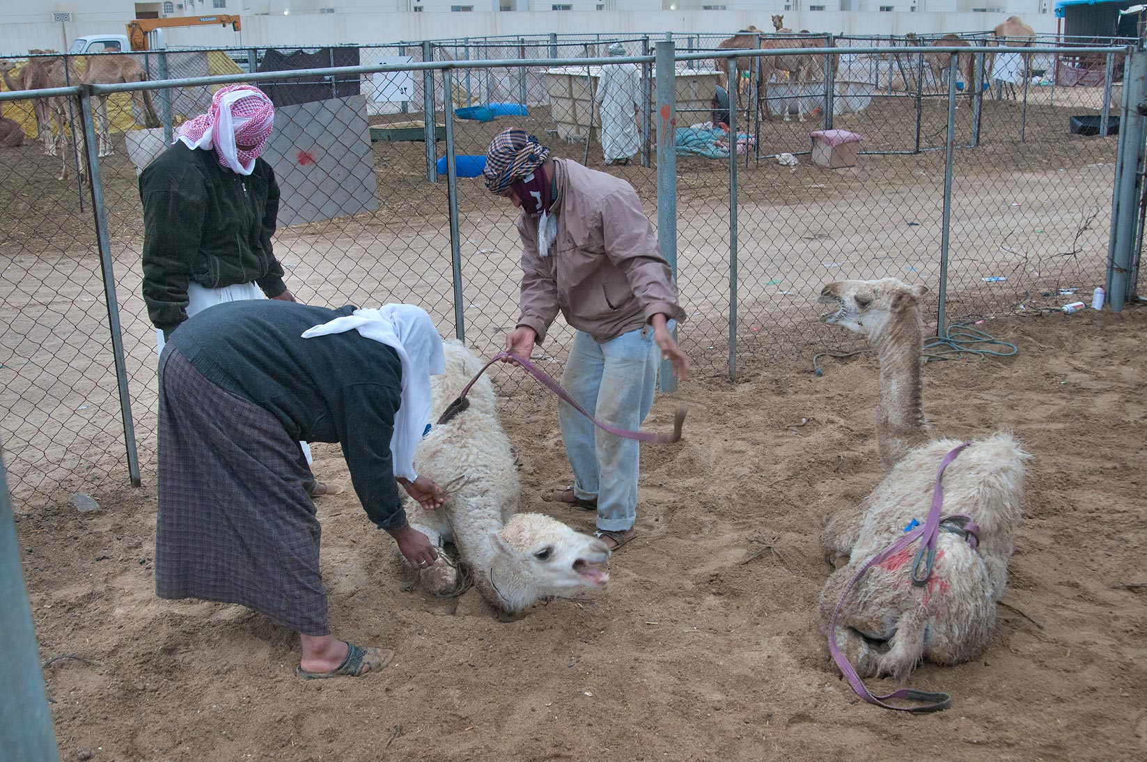 Strapping camel's feet in Camel Market, Wholesale Markets area. Doha, Qatar