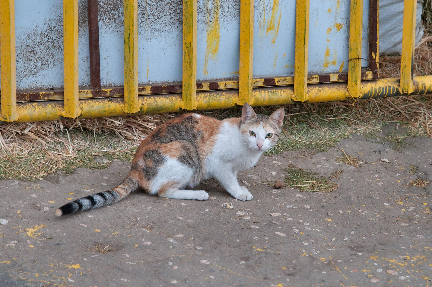 A cat guarding fodder in Animal Market, Wholesale Markets area. Doha, Qatar