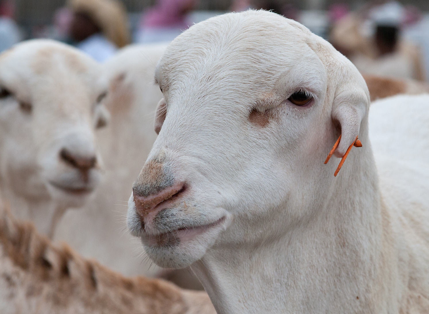 White goats in Sheep Market, Wholesale Markets area. Doha, Qatar
