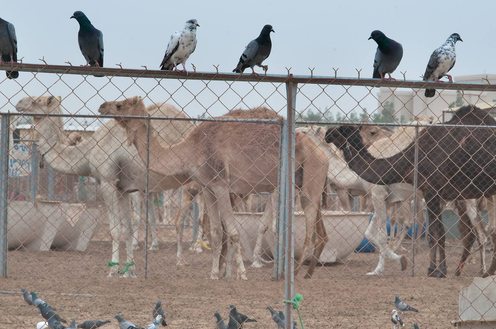 Pigeons sitting on a fence of a pen in Camel Market, Wholesale Markets area. Doha, Qatar